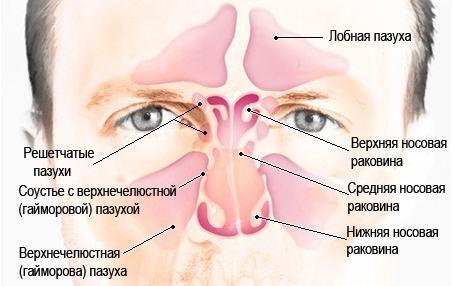 Строение и расположение придаточных (верхнечелюстных гайморовых) пазух носа